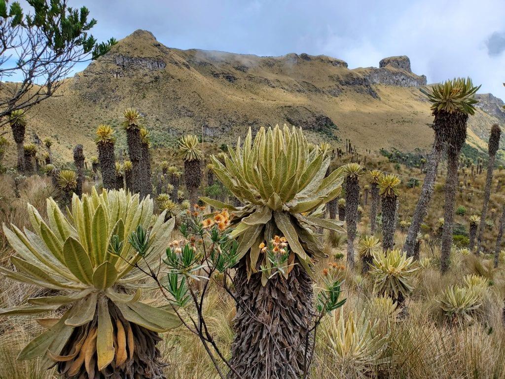 Frailejon plant Paramo Los Nevados Manizales Colombia