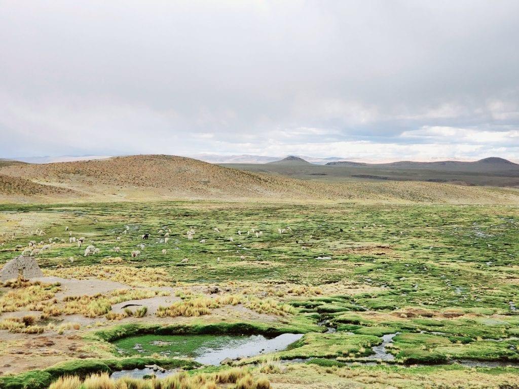 Arequipa Llamas
