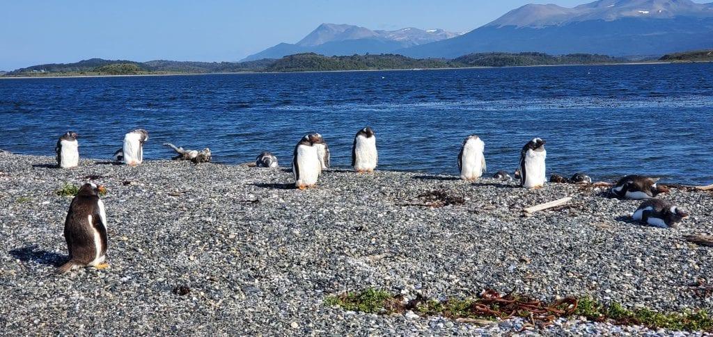 ushuaia gentoo penguins