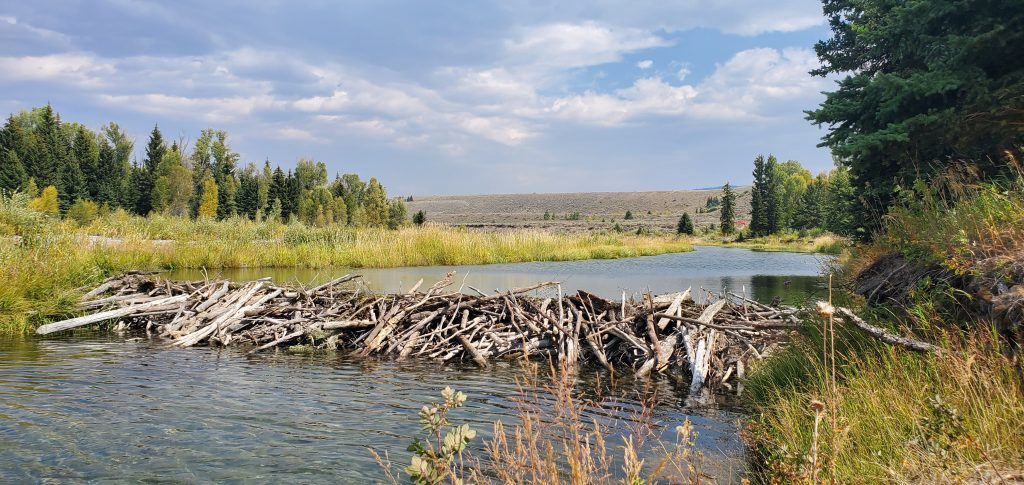 beaver dams grand teton