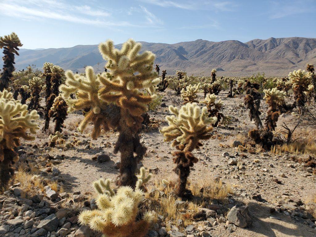 joshua tree cacti